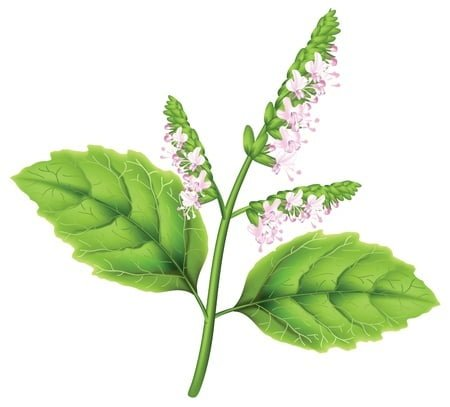 Plant - Patchouli Essential Oil