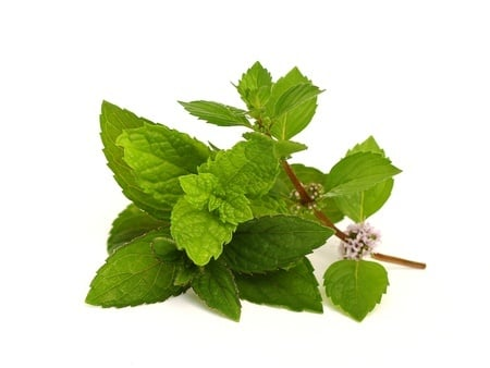 Mint Plant - Peppermint Essential Oil